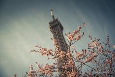 Printemps à Paris : Tour EIffel et arbre en fleurs