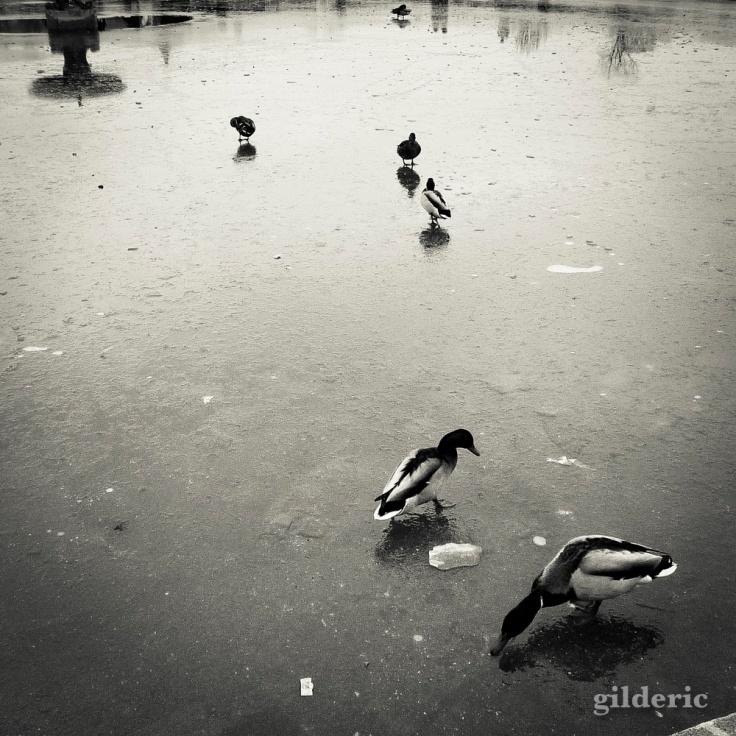 Canards dans le Jardin des Tuileries