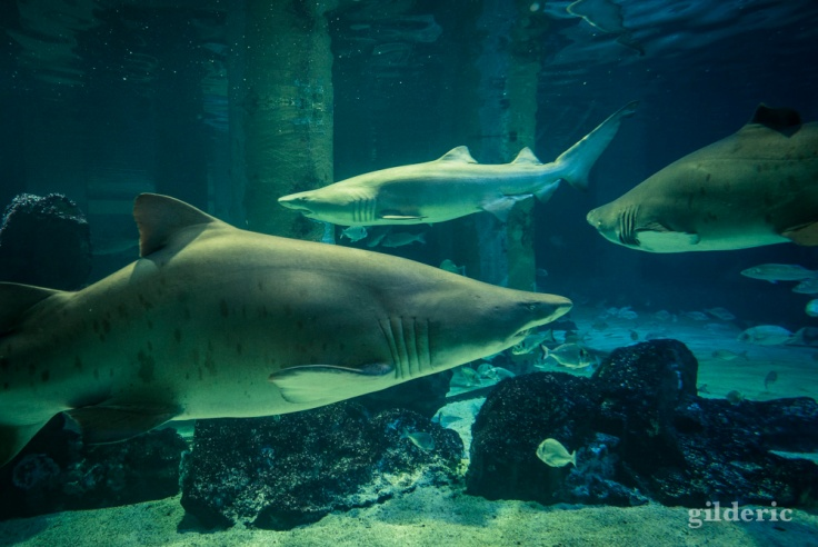 Le bassin aux requins de l'Aquarium de Cattolica (Rimini)
