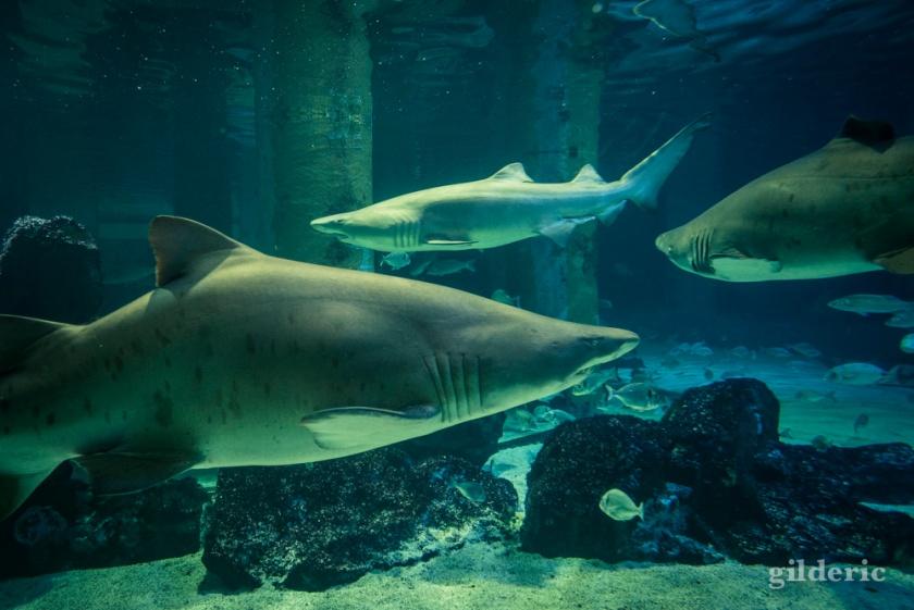 Les requins de l'Acquario di Cattolica