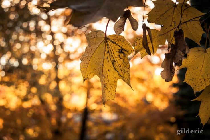 Automne en jaune (Parc de la Chartreuse, Grivegnée)
