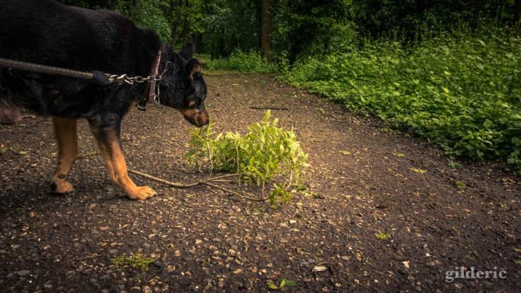 Le chien et les dégâts de la tempête dans le bois de la Chartreuse (Liège)