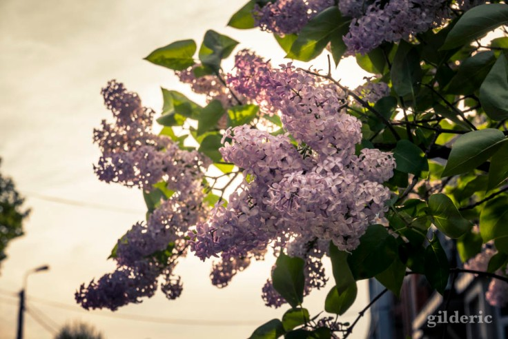 Comment photographier la ville : lilas et contrejour