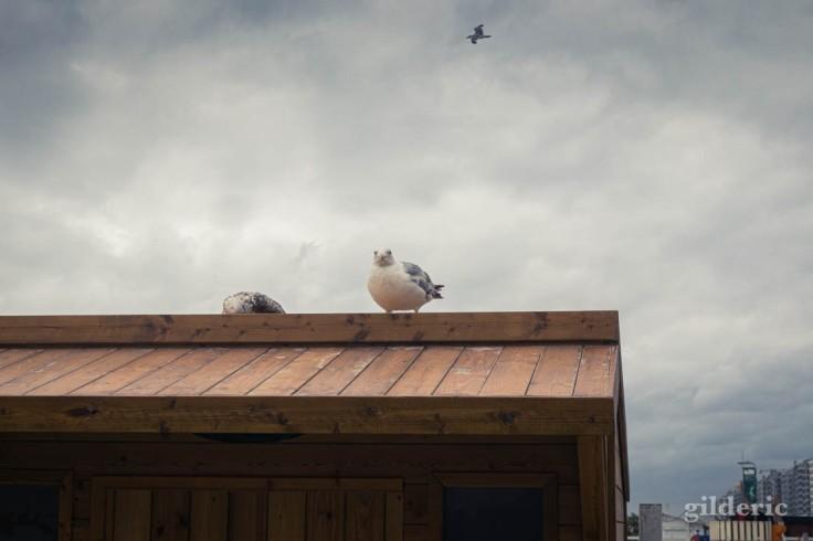 Tempête à Blankenberge : les mouettes résistent à la tempête