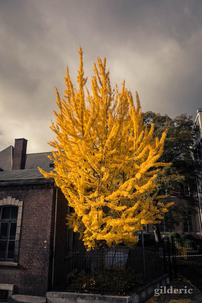 Automne à Liège : l'arbre jaune (photo)
